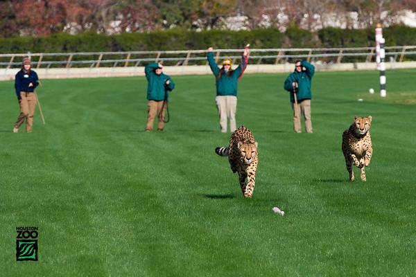 Cheetahs & Anatolian Shepherd Dog Run