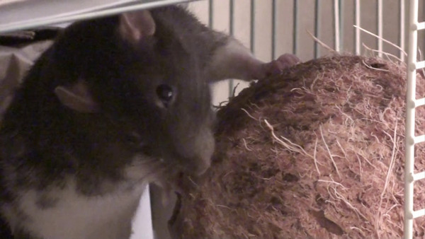 Showing the distribution of rats and their respective coconuts in the separate cages.