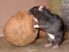 Shannon Burt's sweet rat Tesla tackles a coconut.