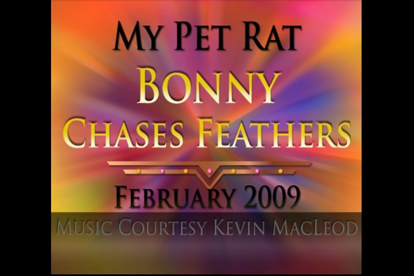This is the short version to music, heavily edited for the pure chase. Pet rats rest often when playing feathers. They can overheat easily. Please watch the long version in this album to see what's really involved in supporting your rat to chase feathers. Music courtesy Kevin MacLeod