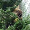 White Nosed Coati -Christmas Tree