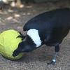 White-Necked Raven - pinata
