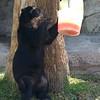 Andean Bear - Ice Pop 2