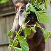 Okapi-browse