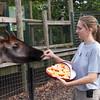 Houston Zoo Okapi's get Valentine's Day Treats