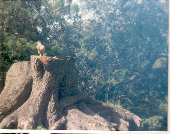 This hawk was sitting on a stump while the picnickers ate nearby.