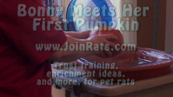 My pet rats enjoy their first pumpkin. I just cut out the top and let them have at it. This first video is of Bonny who was shy about that pumpkin - it might have eaten her up! With extra special baby talk she was enticed to get her first pumpkin seed.