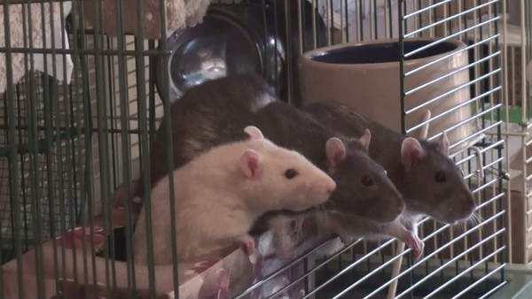 I don't usually hand out so much cereal at the cage door but I was into filming them. :) My rats have figured out that the more they totter, the more I might hand out a treat. They also all know I will always make sure each rat gets a treat, so each shows some patience to wait her turn. You can focus on getting your rats  to jump to your shoulder and then they will do that relentlessly. You have to decide if you want them to sit nicely (well, totter nicely) on the Kleenex box, or jump quick and fast to your shoulder. Or, decide on a signal for which behavior you want, and when you want it. That would take some work, though.