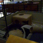 Adopted lab rat Stripe (Karen Borga) gets about the business of stashing toilet paper and shreds for almost 6 continuous minutes!