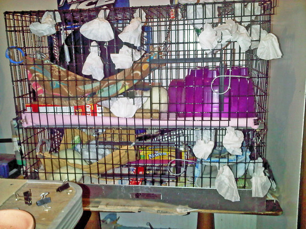 BEFORE: Here's one stash set-up, basket coffee filters stuffed into the bars of the cage. Rats vigorously yank things into their cage and will love tackling these. The human, however, does have to sit there and re-supply the rats with a continual flow of filters!