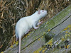 Released wild rat learns to climb. (Berdoy, M. 2002. The Laboratory Rat: A Natural History. Film, 27 min. Ratlife.org.)