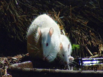 Released mom lab rat with baby born in the 'wild,' sip water together from the pool.  Please note that these photographs are NOT on JoinRats to encourage anyone to breed rats! (Berdoy, M. 2002. The Laboratory Rat: A Natural History. Film, 27 min. Ratlife.org.)