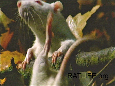 A released lab rat on the way to an apple on a branch, loses balance, but regains it after some mad scrambling. Even though this rat was raised in a research laboratory cage, he practiced and gained muscle power, and agility, which served him well in his desire to explore the world. (Berdoy, M. 2002. The Laboratory Rat: A Natural History. Film, 27 min. Ratlife.org.)