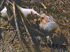 Released lab rat meets a dead bird. Dr. Berdoy reported the 50 lab rats devoured the entire bird. (Berdoy, M. 2002. The Laboratory Rat: A Natural History. Film, 27 min. Ratlife.org.)