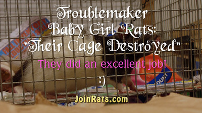 Karen Borga keeps her rats' cages clean, tidy, and well arranged. Well, the baby girls must have had a party the night before because they wrecked it pretty well. Ripped clipped cardboard boxes off their platforms, threw everything around, moved the paper layers on the levels in all directions. This makes this video a great example of Troublemaker Rats.