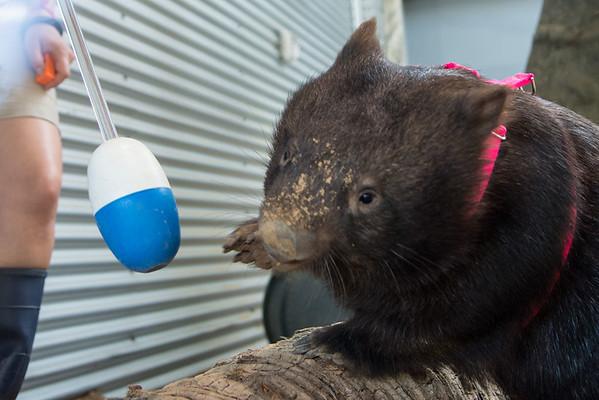 Wombat Training
