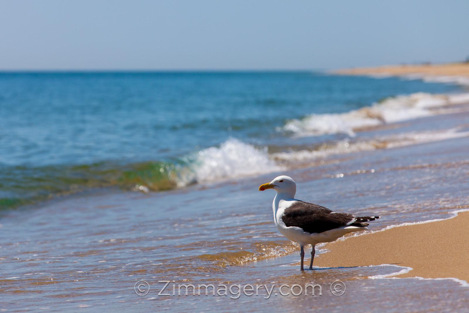 Seagull, Martha's Vineyard