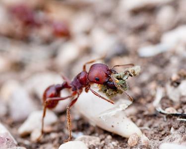 Texas Ant