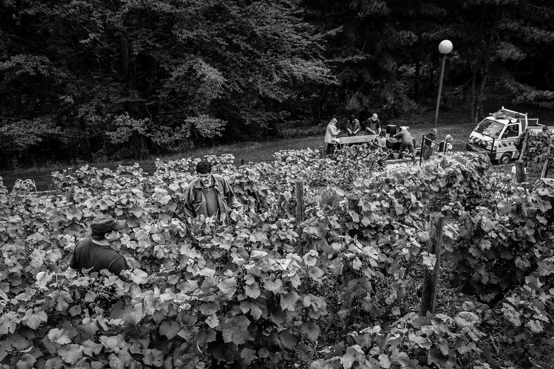 Vendanges au Parc Georges Brassens (Paris XV)  Tous droits réservés LIGHT EX MACHINA