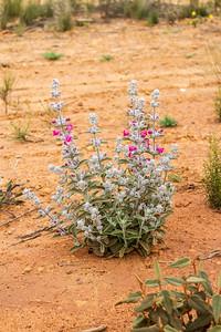 Western Australian wildflower - 2646