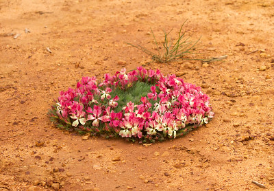Wreath flower - Wanarra E Rd - 2645