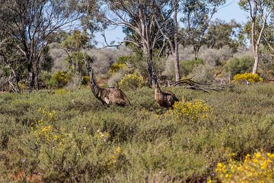 Bowra Wildlife Sanctuary -8294