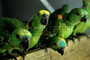 Baby parrots sit in a recovery center of Ibama, Brazil's environmental agency before being returned to their natural habitat at Seropedica, 70 Km from Rio de Janeiro city, Rio de Janeiro, Brazil, October 13, 2008. More of 7000 animals are captured annually by Federal  police with animal traffickers in popular fairs where a baby parrot which have a black market value of close to US$75. (Austral Foto/Renzo Gostoli)