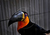 A toucan sits in a recovery center of Ibama, Brazil's environmental agency before being returned to their natural habitat at Seropedica, 70 Km from Rio de Janeiro city, Rio de Janeiro, Brazil, October 13, 2008. More of 7000 animals are captured annually by Federal  police with animal traffickers in popular fairs where a baby parrot which have a black market value of close to US$75. (Austral Foto/Renzo Gostoli)