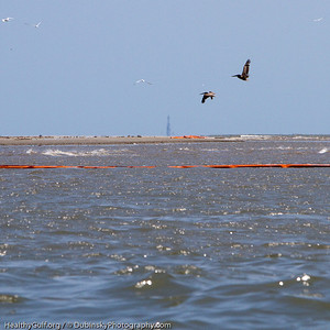 Brown Pelicans flying over oil slick (smooth water)