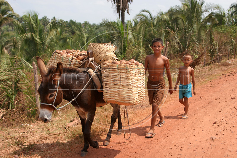 "Children drive a load of babassu nuts with a donkey in the countryside of Brazil's northeastern state of Maranhao. The babassu palm, in background, native to this northeastern corner of Brazil, is an important part of the local culture and economy - more than 60 products come from it including oil used for cooking and cosmetics as well as the nutshell which is used as cooking fuel. So many products come from the tree that it is known as the ""tree of life.""(Australfoto/Douglas Engle)"