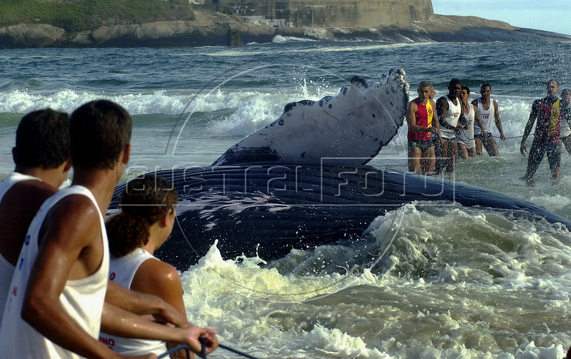 Firemen try to save a beached humpback whale in Jurujuba beach, suburb of Niteroi, Rio de Janeiro, Brazil,  August 9, 2004. The beached whale dies after three days of rescue efforts. (Foto: Austral Foto/Renzo Gostoli)<br /> <br /> *  Bomberos tratan de salvar una ballena jubarte en la playa de Jurujuba, suburbio de Niteroi, Rio de Janeiro. Pese al esfuerzo a lo largo de 3 dias, la ballena murio en la playa. A  pesar del fracaso en el salvamento de la ballena, este episodio marco um importante cambio de actitud de la poblacion de esta region pues hasta no hace mucho tiempo y  desde epocas coloniales, toda ballena que  aparecia por estas costas era cazada sin piedad y transformada en aceite y otros productos industriales; varias<br />  especies de ballenas, que llegan  a las costas brasilenas en busca de aguas mas calidas, llegaron a estar (y aun estan)  amenazadas de extincion. La participacion de bomberos, biologos, voluntarios y vecinos que se esforzaron, lucharon y se emocionaron  con el rescate de la ballena permite abrigar esperanzas en la preservacion de especies amenazadas de extincion. (Foto:Austral Foto/Renzo Gostoli)