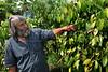 Roland Müller looks to pepper plants, fazenda Vera Cruz, cooperativa Cabruca, Una, Bahia, Brazil, August 6, 2009. (Austral Foto/Renzo Gostoli)
