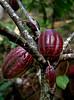 Cacao, cooperativa Cabruca, Una, Bahia, Brazil, August 6, 2009. (Austral Foto/Renzo Gostoli)