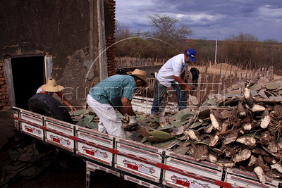 Aldo Rogerio da Costa Araujo, far left, and his father Arnoldo Lopes de Araujo, center, unload cactus from a delivery truck on their small farm near Sao Jose do Egito, in Pernambuco state. The semi-arid region known as the sertao has annual dry seasons, but 2012 is considered the worst in decades. Araujo cannot grow enough feed animals and pays for the cactus load in order for his animals to survive. (Australfoto/Douglas Engle)