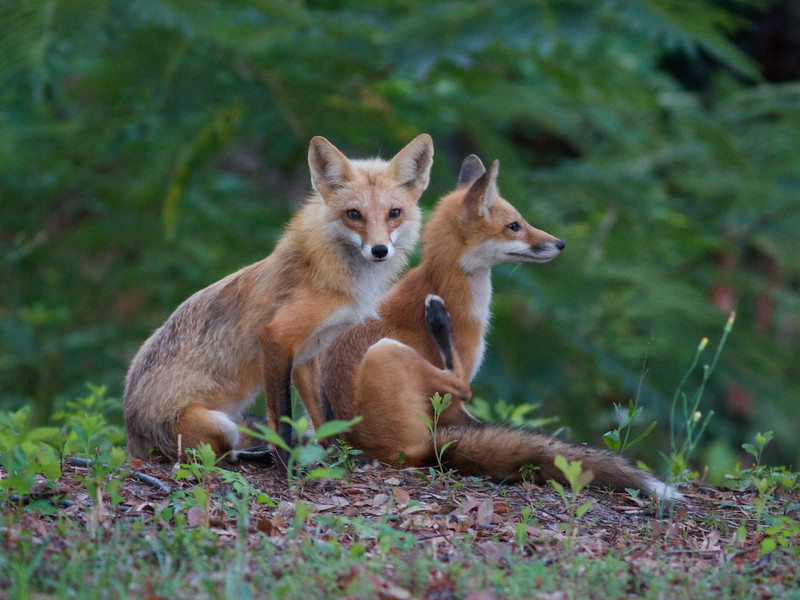 The Foxes of East Beach