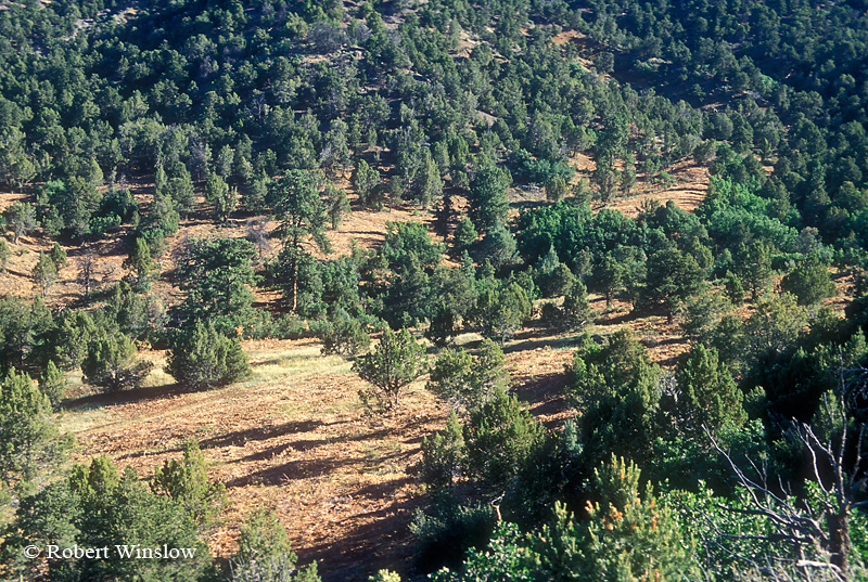 "Pinon and Juniper Trees Thinned by ""Hydro"" Mower, Fuels Reduction and Wildlife Habitat Improvement, BLM Land near Durango, Colorado, USA, North America"