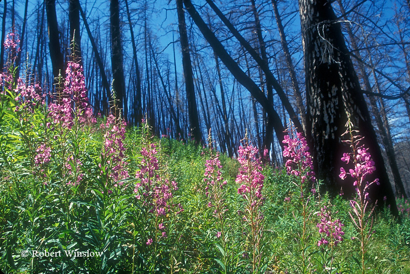 Fireweed Growing in Area Previously Burned by Fire, Yellowstone National Park, Wyoming, USA