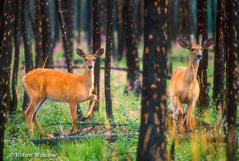 Two White-tailed Deer during a Rain Storm in Forest that Burned the Previous Year, Glacier National Park, Montana