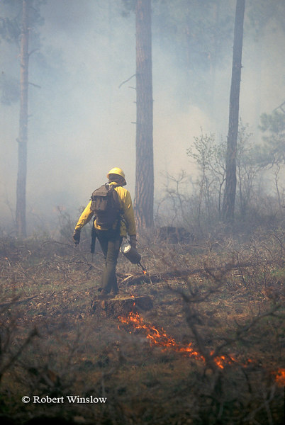 US Forest Service Worker using Drip Torch to Ignite Controlled Burn Forest Fire, San Juan National Forest, Colorado