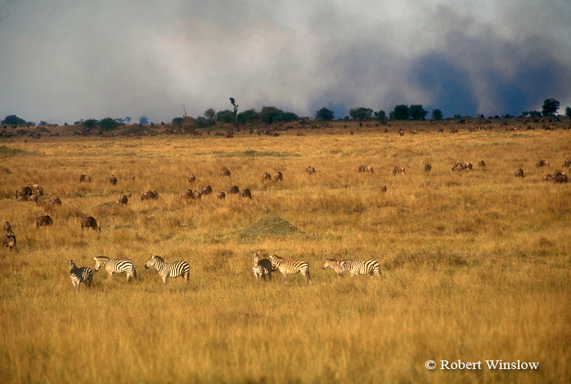 Zebras and Wildebeests, Smoke from Fires set by Maasai to clear land, Masai Mara, Kenya, Africa