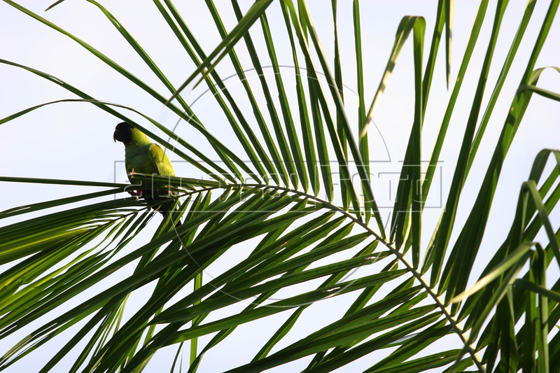 A parrot in the Pantanal region of Brazil's western Mato Grosso do Sul state, April 11, 2006.  The Pantanal, a 140,000 sq. km (50,000 sq. mi) seasonally flooded ecosystem which straddles the borders of Brazil, Paraguay and Bolivia, is the world's largest wetland. It is about the size of Florida, and about 24 times the size of the Everglades wetland of Florida. It is home to a known 3,500 species of plants, as well as over 650 birds, and 400 species of fish. It is a Brazilian National Heritage site, a significant site of international relevance according to the RAMSAR Wetlands Areas Convention, and a UNESCO Biosphere Reserve.(Australfoto/Douglas Engle)