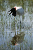 A Jabiru stork (Jabiru Mycteria), symbol of the Pantanal, eats a frog in the Pantanal region of Brazil's western Mato Grosso do Sul state, April 11, 2006. The Pantanal, a 140,000 sq. km (50,000 sq. mi) seasonally flooded ecosystem which straddles the borders of Brazil, Paraguay and Bolivia, is the world's largest wetland. It is about the size of Florida, and about 24 times the size of the Everglades wetland of Florida. It is home to a known 3,500 species of plants, as well as over 650 birds, and 400 species of fish. It is a Brazilian National Heritage site, a significant site of international relevance according to the RAMSAR Wetlands Areas Convention, and a UNESCO Biosphere Reserve.(Australfoto/Douglas Engle)