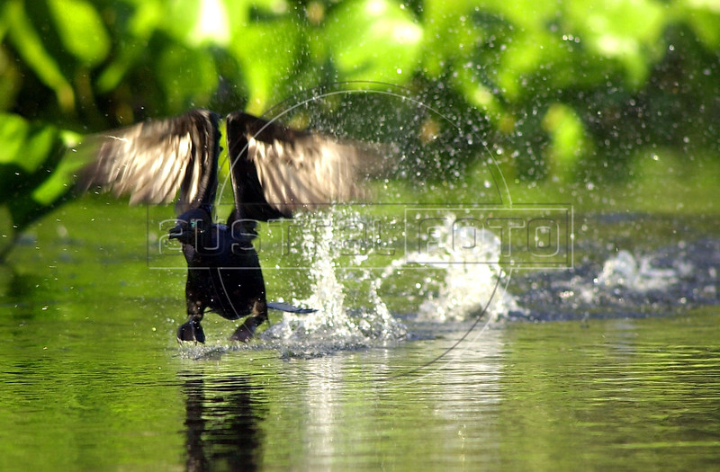 A cormorant (Phalacrocorax olivaceus) takes off in the Pantanal of Mato Grosso do sul state. (Douglas Engle/Australfoto)