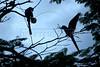 Endangered hyacinth macaws (Anodorhynchus hyacinthinus) in the Pantanal region of Brazil's western Mato Grosso do Sul state, April 11, 2006.  The Pantanal, a 140,000 sq. km (50,000 sq. mi) seasonally flooded ecosystem which straddles the borders of Brazil, Paraguay and Bolivia, is the world's largest wetland. It is about the size of Florida, and about 24 times the size of the Everglades wetland of Florida. It is home to a known 3,500 species of plants, as well as over 650 birds, and 400 species of fish. It is a Brazilian National Heritage site, a significant site of international relevance according to the RAMSAR Wetlands Areas Convention, and a UNESCO Biosphere Reserve.(Australfoto/Douglas Engle)