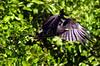 A falcon in the Pantanal of Mato Grosso do sul state.(Douglas Engle/Australfoto)