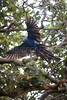 An endangered hyacinth macaw (Anodorhynchus hyacinthinus) takes flight in the Pantanal region of Brazil's western Mato Grosso do Sul state, April 11, 2006.  The Pantanal, a 140,000 sq. km (50,000 sq. mi) seasonally flooded ecosystem which straddles the borders of Brazil, Paraguay and Bolivia, is the world's largest wetland. It is about the size of Florida, and about 24 times the size of the Everglades wetland of Florida. It is home to a known 3,500 species of plants, as well as over 650 birds, and 400 species of fish. It is a Brazilian National Heritage site, a significant site of international relevance according to the RAMSAR Wetlands Areas Convention, and a UNESCO Biosphere Reserve.(Australfoto/Douglas Engle)