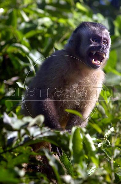 A Brown Capuchin Monkey (Cebus apella) in the Pantanal of Mato Grosso do sul state.(Douglas Engle/Australfoto)