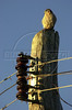 A young hawk sits on a pole in the Pantanal of Mato Grosso do sul state.(Douglas Engle/Australfoto)