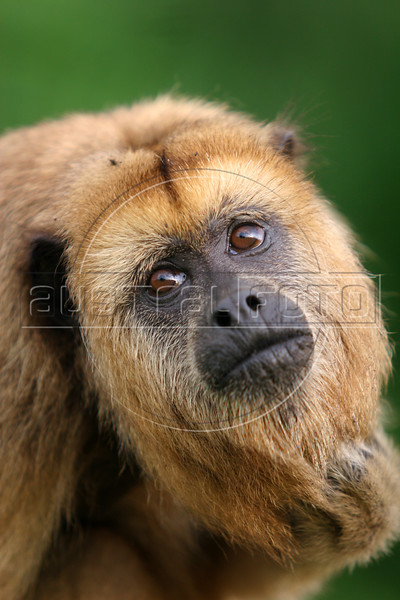 A black howler monkey (Alouatta caraya) in the Pantanal region of Brazil's western Mato Grosso do Sul state, April 11, 2006.  The Pantanal, a 140,000 sq. km (50,000 sq. mi) seasonally flooded ecosystem which straddles the borders of Brazil, Paraguay and Bolivia, is the world's largest wetland. It is about the size of Florida, and about 24 times the size of the Everglades wetland of Florida. It is home to a known 3,500 species of plants, as well as over 650 birds, and 400 species of fish. It is a Brazilian National Heritage site, a significant site of international relevance according to the RAMSAR Wetlands Areas Convention, and a UNESCO Biosphere Reserve.(Australfoto/Douglas Engle)