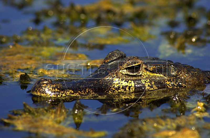 A caiman in the Pantanal of Mato Grosso do sul state.(Douglas Engle/Australfoto)